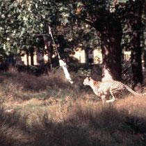"""Ein anderes Beispiel für Behavioral Enrichment mit Bezug zur Nahrungsbeschaffung: Den Geparden im Zoo Wien wird Futter (tote Kaninchen) an den Bügel eines Skilifts befestigt und im Zick-Zack durch das Gehege gezogen. Der Gepard muss sein Futter """"erjagen""""."""