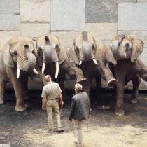Die Elefanten im Zoo Wien haben nicht nur gelernt in ihrem Gehege unter Kontrolle der Pfleger zu spazieren, sondern konnen durchaus auch auf Zeichen hin angelernte Verhaltensweisen ausführen, wie Elefanten im Zirkus.