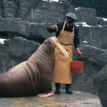 Walrossfütterung im Zoo Hagenbeck, Stellingen, D