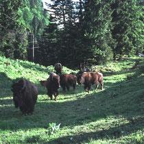 Bisons im Jurapark, Mont d'orsières, CH. Die Tiere stammen ursprünglich aus dem Tierpark Dählhölzli in Bern, wo man die Bisonhaltung  - zugunsten der Haltung von Wisents - aufgab. Im Jurapark leben auch Bären und Wölfe (im gleichen Gehegesystem).