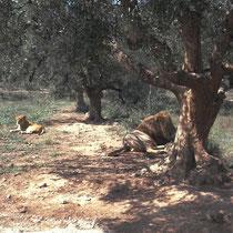 Löwenhaltung im Rio Leon Safaripark, E.
