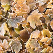 Herbstlaub mit Frost (Feldahorn, Acer campestre), 61mm, 1/80s, f6.3, ISO 250, LW +2/3