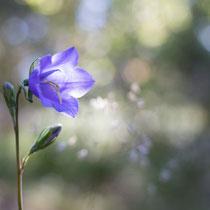 Rundblättrige Glockenblume (Campanula rotundifolia), 40mm, 1/160s, f3.2, ISO 100