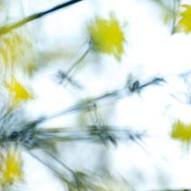 Winter-Jasmin (Jasminum nudiflorum), 209mm, 1/400, f5.6, ISO 1250