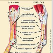 Anatomía de la extremidad anterior