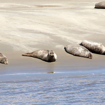 Seehunde in der Sonne auf den Seehundbänken in der Elbe