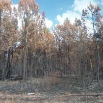 La forêt calcinée, deux jours après l'incendie