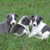 chiots whippet