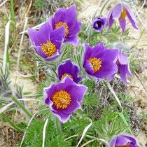 Flora am Tuniberg und Kaiserstuhl