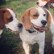 Jamie liebt Stöckchen, Murphy anscheinend auch :)