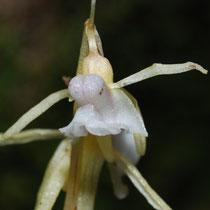 Epipogium aphyllum Col de Jau (66) Le : 08-08-2008