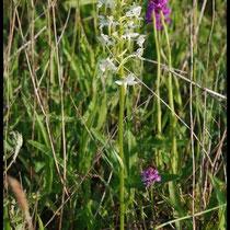 Platanthera chlorantha Mont d'Eraines (14) Le : 08-06-2008