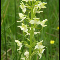 Platanthera chlorantha Barres des Cévennes (48) Le : 04-06-2005