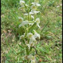Platanthera chlorantha Mont d'Eraines (14) Le : 11-06-2006