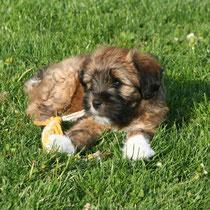 Nandi 8 Wochen alt, ein schöner Tibi-Junge ist er geworden :-)