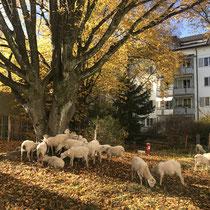Vierbeinige Rasenmäher*innen mitten, Zürich, Nov. 2020