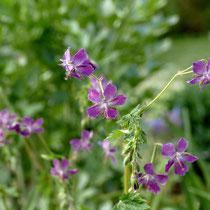 Geranium pheum 'Malvenmövchen'