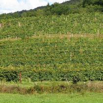 Vignes sur Irouléguy