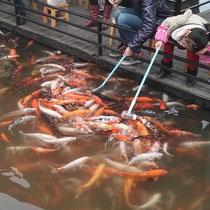 Und da der Beweis, dass Chinesen tatsächlich verrückt sind: Fische werden hier mit Babyflaschen gefüttert :P