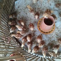 Die hatten da tausende jugendliche Hühnerchen in so nem kleinen Käfig - hach!