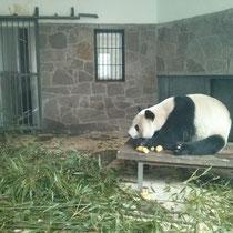 Panda Numero eins wirkte ziemlich traurig so alleine in seinem Gefängnis… ääh Käfig ^^