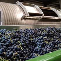 Keltern der Weintrauben (Hier Dornfelder)