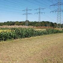 FARMSORGHO - Hybride zur Körner- und Biogasnutzung