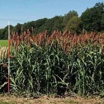 SWEET CAROLINE - Hybride zur Biogasnutzung