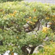 杏の実も収穫時を迎えました