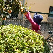 心地よい季節、果実の香りや風を感じての収穫作業もはかどります
