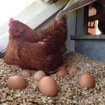 In den Gruppennestern liegen die sauberen Eier schonend im Dinkelspelz