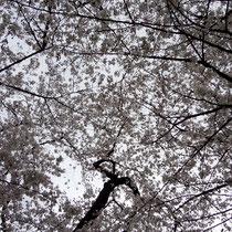 眼の中いっぱいに桜