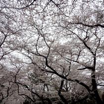 4月6日 谷中霊園の桜