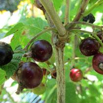 black currant (berries)