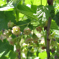 black currant (flowers)