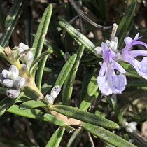 "rosemary ""September Blue"""