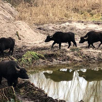 Büffel beim Erkunden des neuen Biotops.