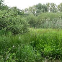 Grube im August 2020: Weidengebüsch, Segen und Binsen bestimmen das Bild