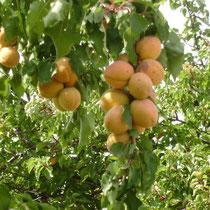 unsere Aprikosen zum Pflücken vor dem Haus