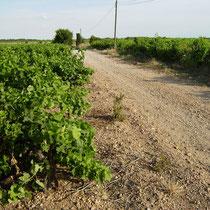 Weg durch die Weinfelder