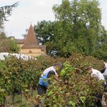 Vendanges au château viticole entre Albi et Gaillac
