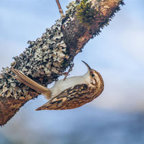 Waldbaumläufer | Common Treecreeper     (Certhia familiaris)  -- Germany