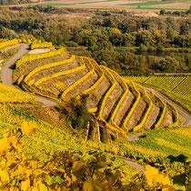 Golden wineyards