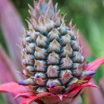 Ananas      Pineapple  (Ananas comosus) -- Peru / Centro De Rescate Taricaya