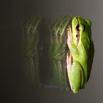 Europäische Laubfrosch / European tree frog (Hyla rborea) --Camargue/France