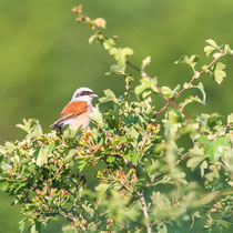 Neuntöter   |  red-backed shrike   (Lanius collurio)