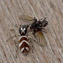 Springspinne jagt eine Fliege übern Tisch