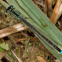 Weibchen, grüne Variante
