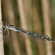 Weibchen mit Parasitenbefall