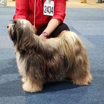 BOB Tibet Terrier Vanni California Sunshine von Tsche-pa-me